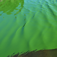 Treatment of blue-green algae: Polytechnique Montréal involved in a research project based on genomics